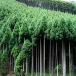 Kyoto Kitayama Traditional Forestry 'Honjikomi' Event