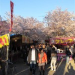 Cherry Blossoms at Hirano Shrine