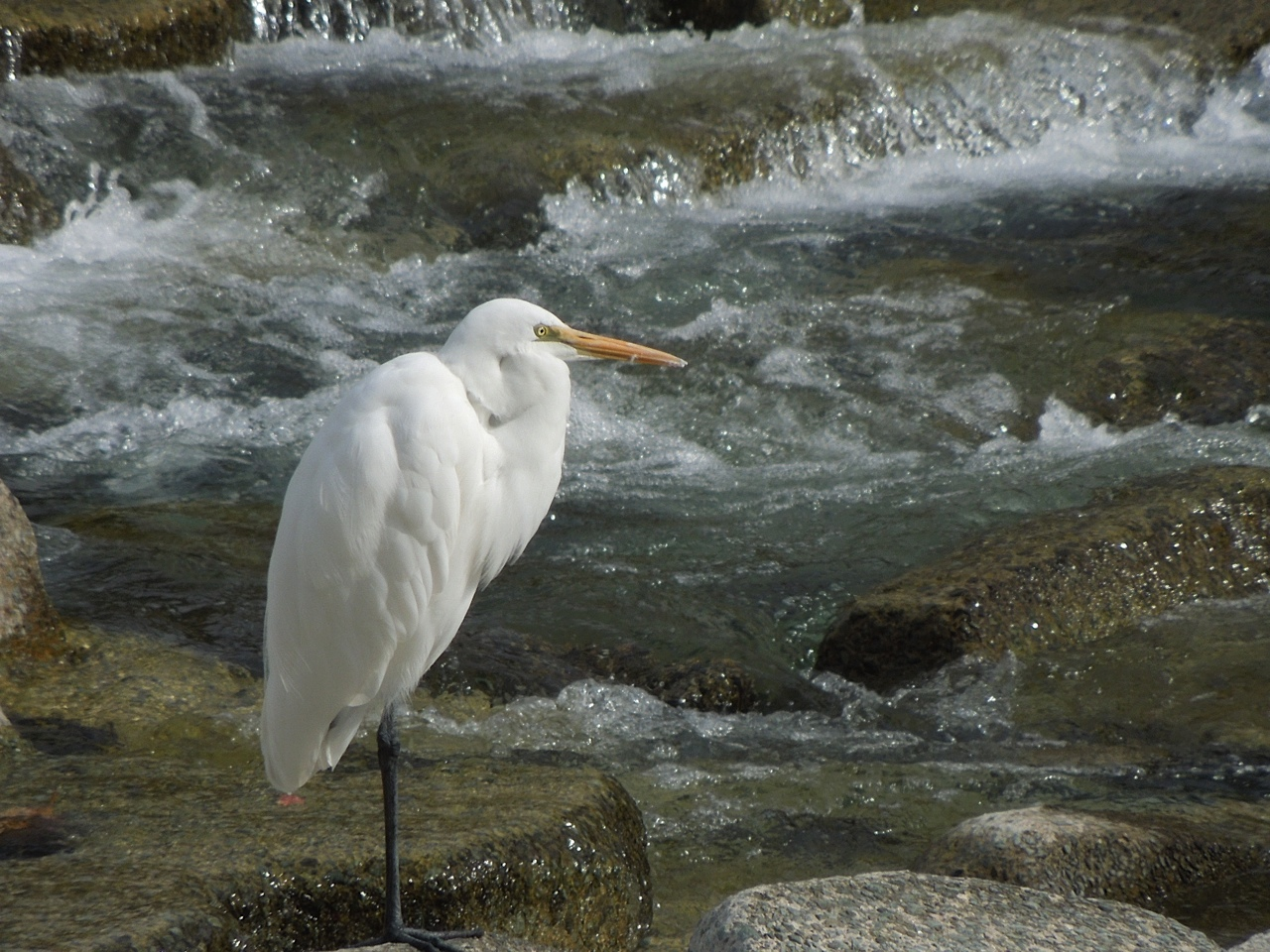 An egret rests on one-leg, determined not to stick its neck out.