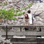 Cherry Blossoms on Shimbashi, Kyoto